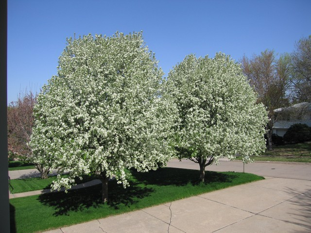 My last photo set white flowering trees omaha forums my last photo set white flowering trees mightylinksfo